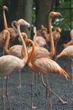 Orange flamingos standing next to a pond royalty free stock photography