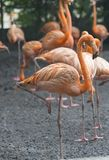 Orange flamingos standing next to a pond royalty free stock images