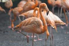 Orange flamingos standing next to a pond royalty free stock image