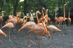Orange flamingos standing next to a pond stock images