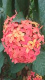 Orange Flamme der Holzblumen lizenzfreies stockbild
