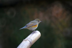 Orange-flanked Bush-Robin Stock Photos