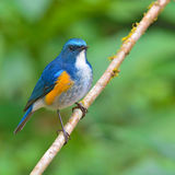 Orange-flanked Bush Robin bird Royalty Free Stock Images