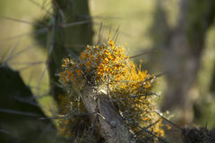 Orange Flechte auf Kaktusniederlassung Stockfoto