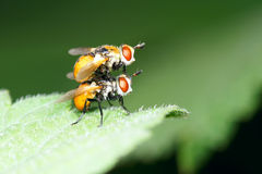 Orange flies Stock Images