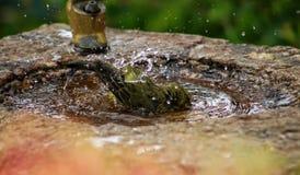 Orange flodvit-öga fågel som tvättar sig fotografering för bildbyråer