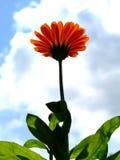 Orange flower. Worm's-eye view royalty free stock photos