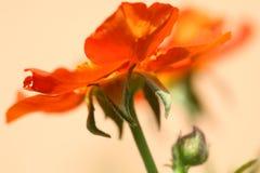 Orange flower. In the garden. macro Royalty Free Stock Image
