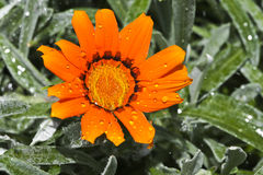 Orange Flower. An orange Flower with some Water Drops on it Royalty Free Stock Photo