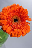 Orange flower. Close-up picture of a bright orange flower with water drops Stock Photography