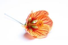 Orange flower. On awhite background Royalty Free Stock Images