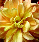 Orange flower. Shiny drops on an orange flower Royalty Free Stock Image