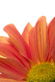 Orange flower. Closeup of orange flower on white background Stock Photo