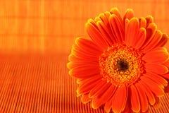 Orange Flower. On orange background Royalty Free Stock Images