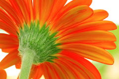 Orange flower. Close up of a orange flower stock image