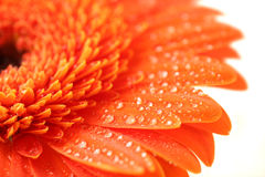 Orange flower Stock Images