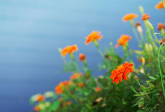 Orange flower. On blue background royalty free stock photo