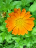 Orange flower Stock Photography