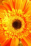 Orange Flower. Closeup, macro shot Stock Photos