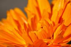 Orange flower. Closeup macro detail of orange flower bloom Stock Photos