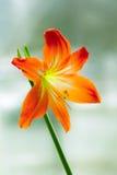 Orange flower. Beautiful orange flower close-up shot Stock Photo