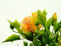Orange flower. A photo of orange flower Royalty Free Stock Photo