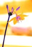 Orange Flower Royalty Free Stock Image