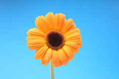 Orange flower. On a blue background Royalty Free Stock Images