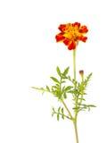 Orange Flower Royalty Free Stock Images