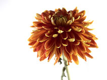 Orange flower. An orange flower isolated with some negative space for text stock images