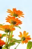 Orange flower Stock Image