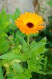 Orange flower Stock Photography