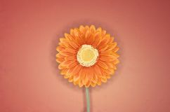 Orange flower 5 Stock Image