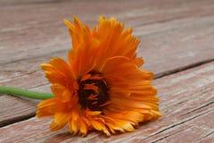 Orange flower. An Orange flower on wooden planks Stock Photo