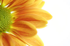 Orange flower. Macro of orange flower on white background. Selective focus Royalty Free Stock Images