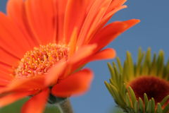 Orange flower Royalty Free Stock Photography