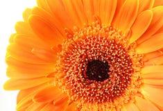 Orange flower. On a white background royalty free stock photos