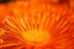 Orange flower. Close up orange flower Stock Image