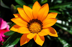 Orange flower. An orange flower Royalty Free Stock Image