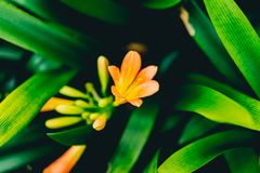 Orange flower around green leafy leaves. During spring time Royalty Free Stock Image