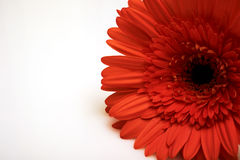 Orange flower as a present Royalty Free Stock Photo