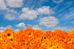 Orange flower background. With cloudy sky overhead, consisting of hundreds of flowers Stock Image