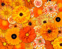 Orange Flower Background. Selection of Various Orange Flowers on top of each other. Background of Dahlia, Daisy, Chrysanthemum, Pot Marigold, Carnation Flowers Royalty Free Stock Images