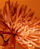 Orange Flower Background. A background with an abstract closeup view of a flower Stock Photos