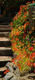 Orange flower background. Beautiful colorful orange ground cover flowers spread on the hillside along the rustic wooden steps Stock Photography