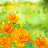 Orange flower background. Orange flower on the bright light green background. Siberian globeflower. Trollius asiaticus Royalty Free Stock Photos