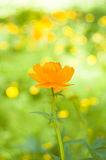 Orange flower background. Orange flower on the bright light green background. Siberian globeflower. Trollius asiaticus Royalty Free Stock Images