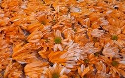 Orange flower background, detailed silleta stock photo