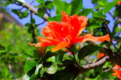 Orange flower. A beautiful orange flower from mexico Stock Images