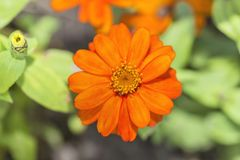 The Orange Flower. A beautiful orange flower in summer season Stock Photography